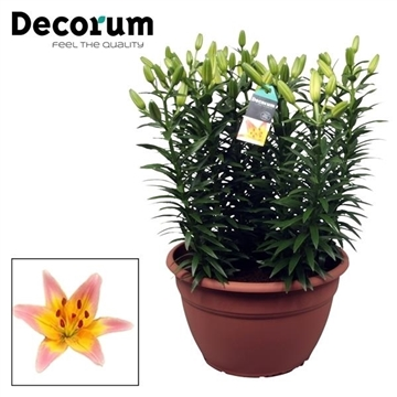 Lilium Passion Lily XL
