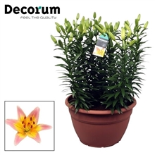 Lilium Passion Lily XL