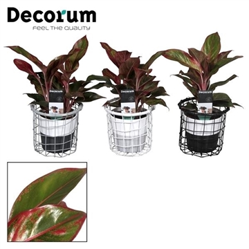 Collectie Black & White - Aglaonema Crete in Draadmand met Amy 2 tone (Decorum)