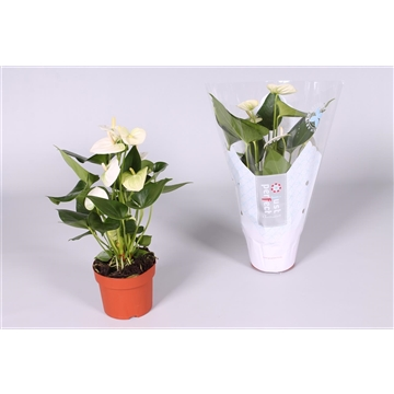 Anthurium Namora ''Just perfect®'' (XL-Flowers)