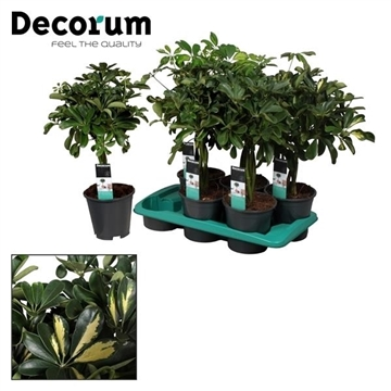 Schefflera vlecht mix (Gold Capella & Compacta) (Decorum)