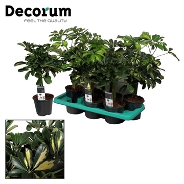Schefflera op stam mix (Gold Capella & Compacta) (Decorum)