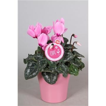 "MoreLIPS® Cyclamen in roze ""Bombé"" keramiek"