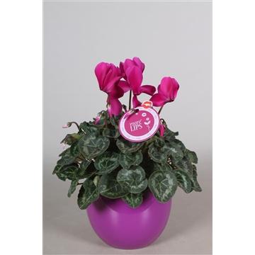 """MoreLIPS® Cyclamen in paars """"Lisa"""" keramiek"""