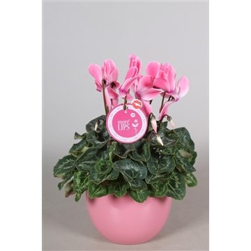 """MoreLIPS® Cyclamen in roze """"Lisa"""" keramiek"""