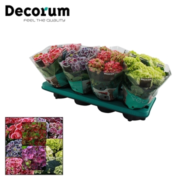 Hydrangea Macr. 10cm Special Mix 3+ bloem