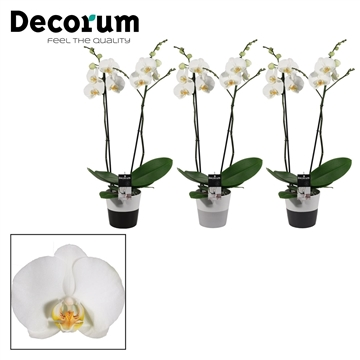 Phalaenopsis 2 tak wit in Amy 2 Tone (Black & White)