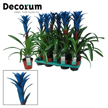 Guzmania Ocean Blue (Decorum)