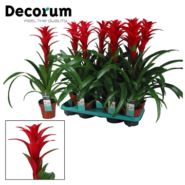 Guzmania Brimstone Rood (Decorum)