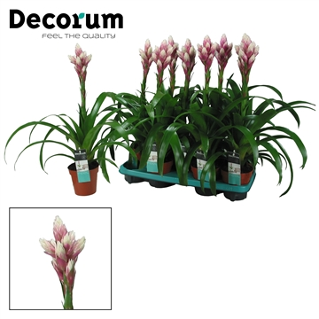 Guzmania Candy Vertakt Roze-Wit (Decorum)