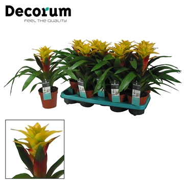 Guzmania Fancy Geel-Rood (Decorum)