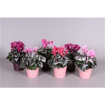 Cyclaam met sneeuw in roze en paars 'Adele' keramiek