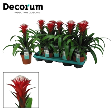 Guzmania Hope Rood-Wit (Decorum)