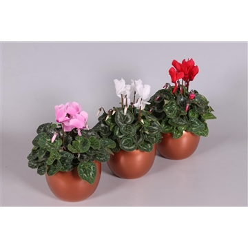 Cyclamen in Reflections of Nature Lisa pot KERST