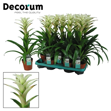 Guzmania Mara Wit (Decorum)
