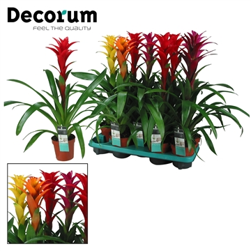 Guzmania Maxima Mix (Decorum)