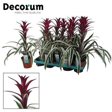 Guzmania Purple & Stripes Exclusive (Decorum)