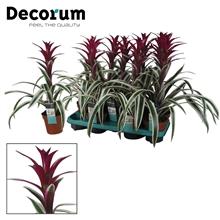 Guzmania Purple & Stripes Exclusive (Decorum)