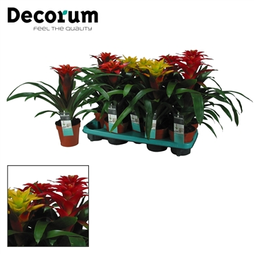 Guzmania Squarosa Mix (Decorum)