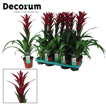 Guzmania Switch Bordeaux Rood (Decorum)