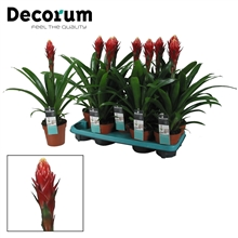 Guzmania Torch Rood Geel (Decorum)