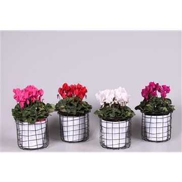 Cyclamen in Draadmand met Black and White keramiek