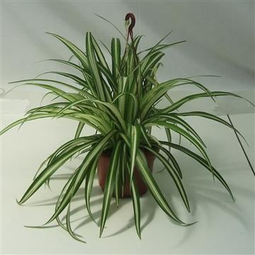 Chlorophytum Hang/colgar pot