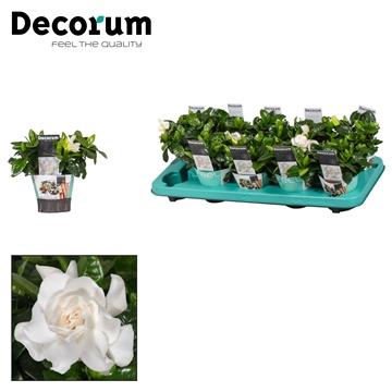 Gardenia 9 cm Potcover