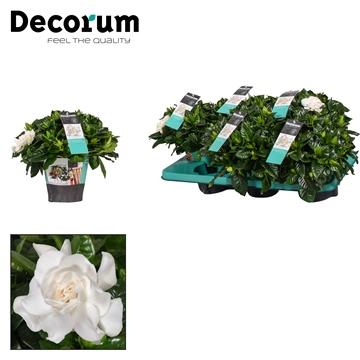 Gardenia Jasminoides 13 cm potcover