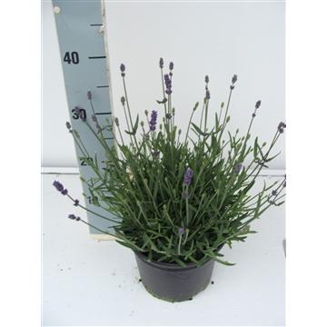 Lavendula angustifolia T12