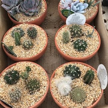 Cactus arrangement in ceramic pot