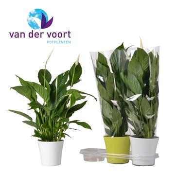 Spathiphyllum 17 cm 'Vivaldi®' in Wendy keramiek