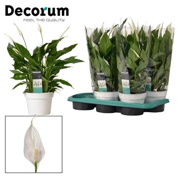 Spathiphyllum 17 cm 'Torelli®' Decorum