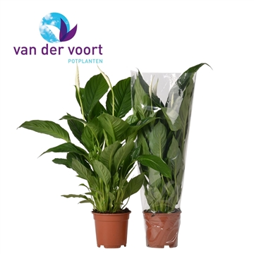 Spathiphyllum 17 cm 'Vivaldi®'