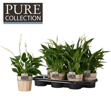 Spathiphyllum in Pure Wood pot