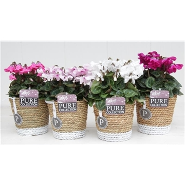 Cyclamen SS Petticoat Mix S. Basket