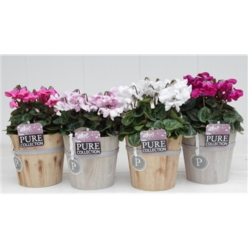 Cyclamen SS Petticoat Mix Wood