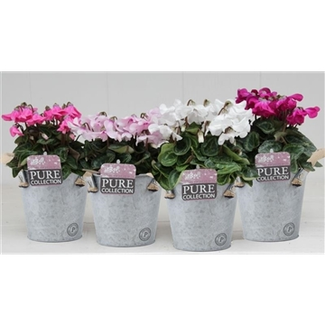 Cyclamen SS Petticoat Mix Zinc Louise
