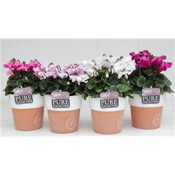 Cyclamen SS Petticoat Mix Terra Cotta Pure