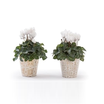 Collectie 'Precious' - Cyclamen in pot Jen