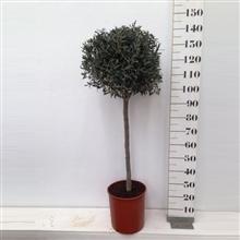 Olea europea 30 cm - High 120-140