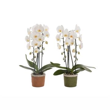 Phalaenopsis cascade 2 tak wit in Caith (Urban & Green)