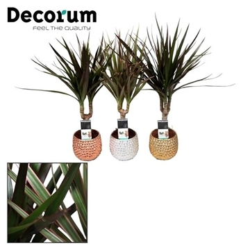 Dracaena gemengd 7 cm in Noelle keramiek (Decorum)