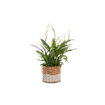 Urban & Green - Spathiphyllum 12 cm 'Torelli' in mand Julia