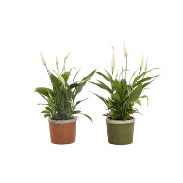 Urban & Green - Spathiphyllum 12 cm 'Torelli' in pot Caith
