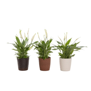 Urban & Green - Spathiphyllum 12 cm 'Torelli' in pot Urban