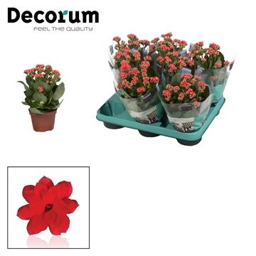 Kalanchoë Decorum - Serenity Light Red