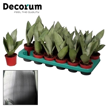 Sansevieria Moonshine (Decorum)