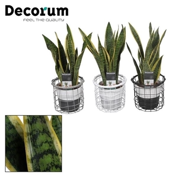 Collectie Black & White - Sansevieria in Draadmand met Amy 2 tone (Decorum)