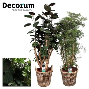 Polyscias vertakt mix in Rattan mand (Decorum)